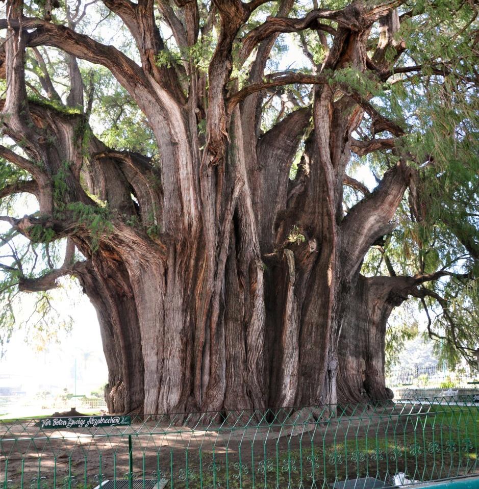 Árbol del Tule edad historial caracteristicas tiempo de vida descripcion leyenda 1