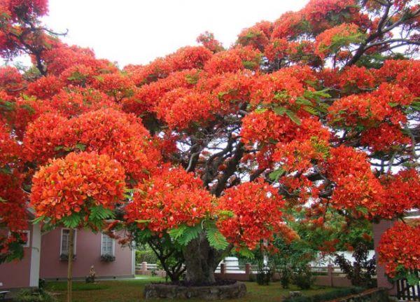 Flamboyan-brasil