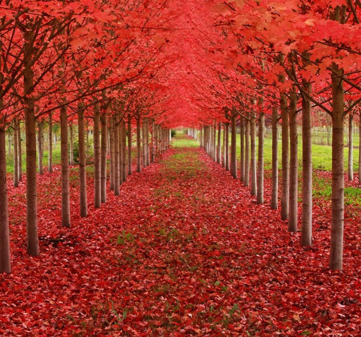 Tunel-de-arboles-de-Maple-en-oregon-estados-unidos-730x680
