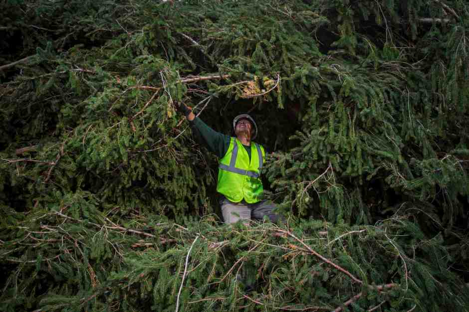 A worker prepares an 85-foot-tall Norway Spruce from Hemlock Township, Pennsylvania to be hoisted into position as the 2014 Rockefeller Center Christmas Tree in New York