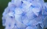 blue-hydrangea-with-raindrops