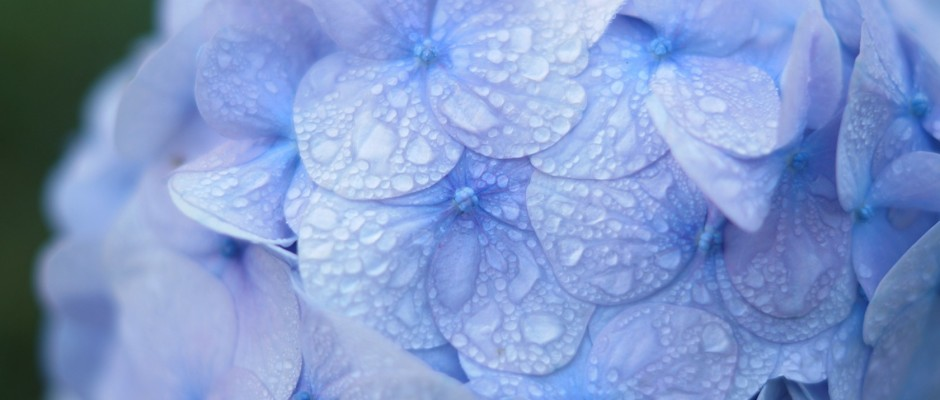 blue-hydrangea-with-raindrops